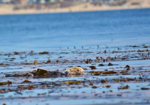 Sea Otters in Monterey Bay 1