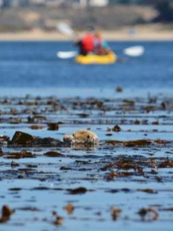 Sea Otters in Monterey Bay - Kayaking