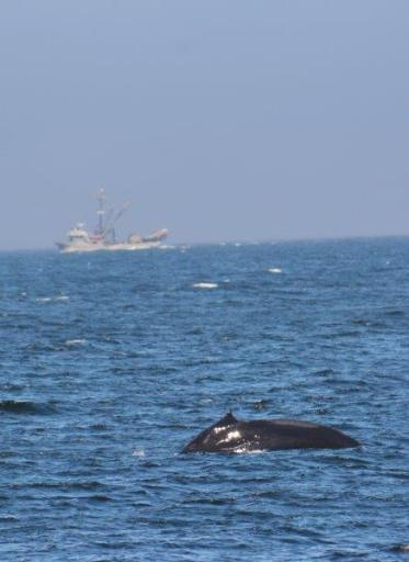 humpback whales in Monterey Bay 2