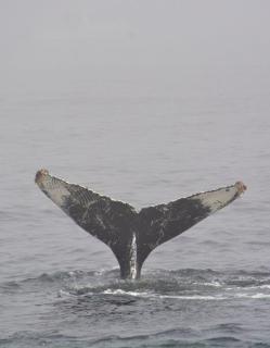 whale flukes in Monterey Bay 3