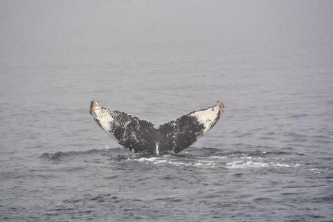 whale flukes in Monterey Bay
