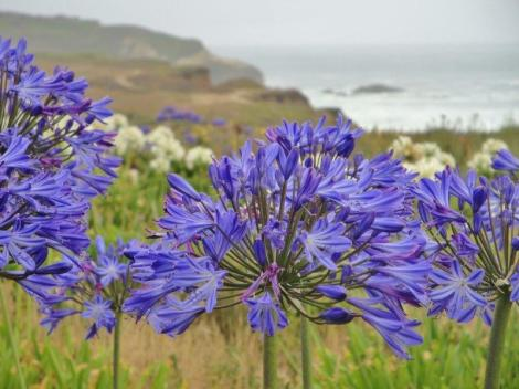 Montara Beach allium wildflowers (4)