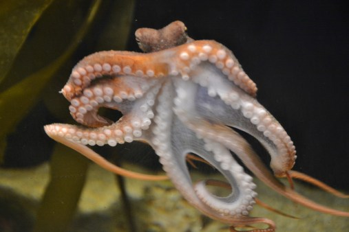 Octopus at Seymour Marine Discovery Center