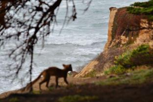 coyote pup at Fitzgerald Marine Reserve (2)