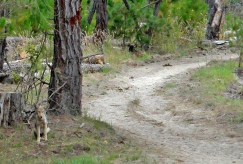 pebble beach horseback riding - coyote pup