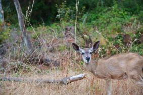 point lobos deer