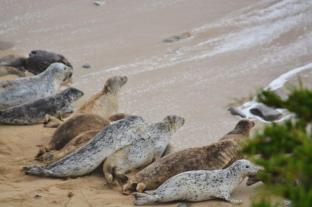 seals at Fitzgerald Marine Reserve (2)