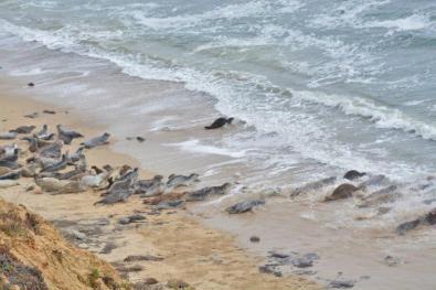 seals at Fitzgerald Marine Reserve