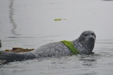 Harbor seal - Monterey Bay 2