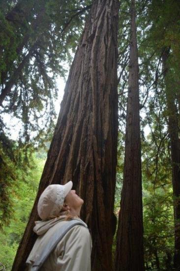 Muir Woods giant redwoods