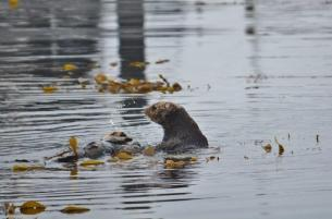 Sea Otters 2 - Monterey Bay Marina