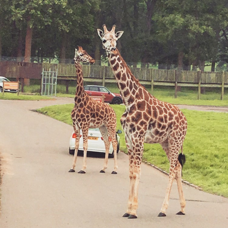 Happy Days: 5 Great animal attractions to visit in Southern England. Image of two giraffes crossing the road at Woburn Safari Park