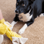 How to Get Dog Poop Out of the Carpet