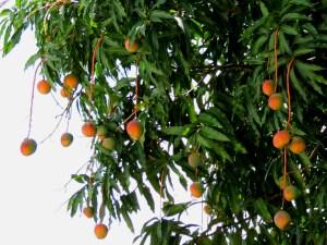 mango-tree