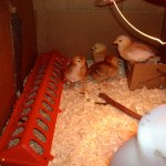 chickens, week 2