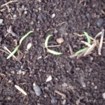 spinach_seedlings