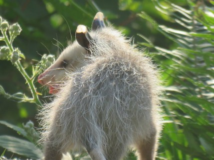 The Opossum: Snoqualmie Valley's Misunderstood Animal
