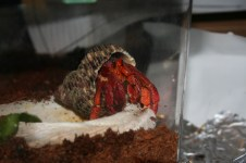 Kiki's hermit crab Baby