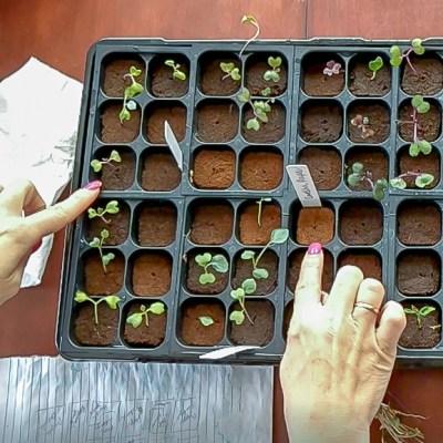 Seedling Update – Garden 2018