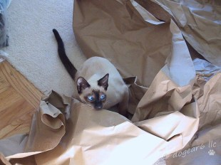 Seal point Siamese kitten at play