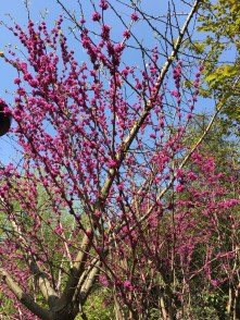 deep pink blooming tree