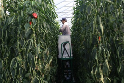 Mexican migrant harvesting peppers.