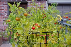 Height of the tomato crop.