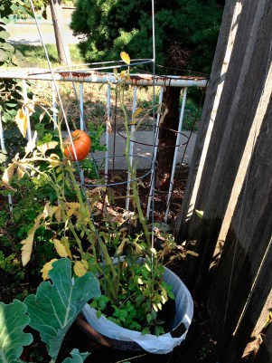 Tomato plant in garden.