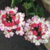ガーデニングの花選び!花言葉で家族の幸福を願う花 12選