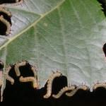 バラ・ガーデニング花につく害虫の種類と対策と駆除方法