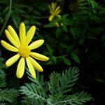 ユリオプスデージーの育て方と花言葉【晩秋~冬に咲くガーデニング草花】
