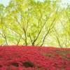 ツツジの種類や育て方と花言葉【半日陰に植える常緑低木のガーデニング】