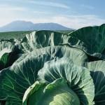 キャベツの栄養効果と旬や調理法【ビタミンを吸収しやすい食べ方とは?】
