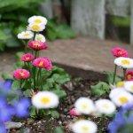 ヒナギクの育て方と花言葉【春に咲くガーデニング草花】