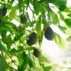 アボカドの栄養は美容健康の強い味方!【効果効能や食べ方を紹介】
