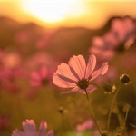 10月1日~10月31日|誕生花と花言葉一覧