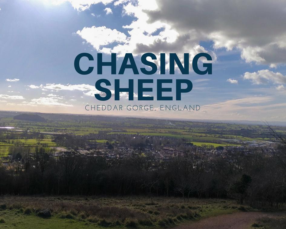 Chasing sheep on Cheddar Gorge cliff top  切達峽谷崖頂散步