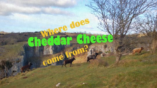 Where does Cheddar cheese come from?  切達起司出自哪裏?