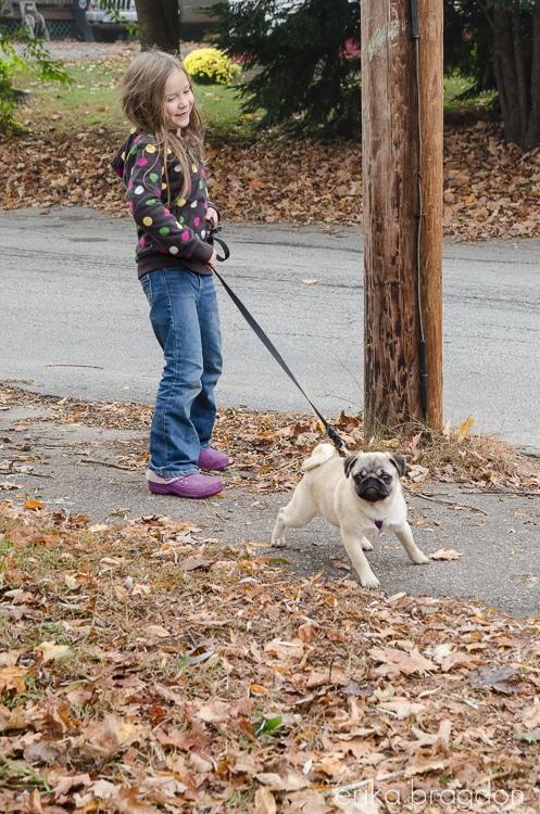 Zoey Pug Puppy-4