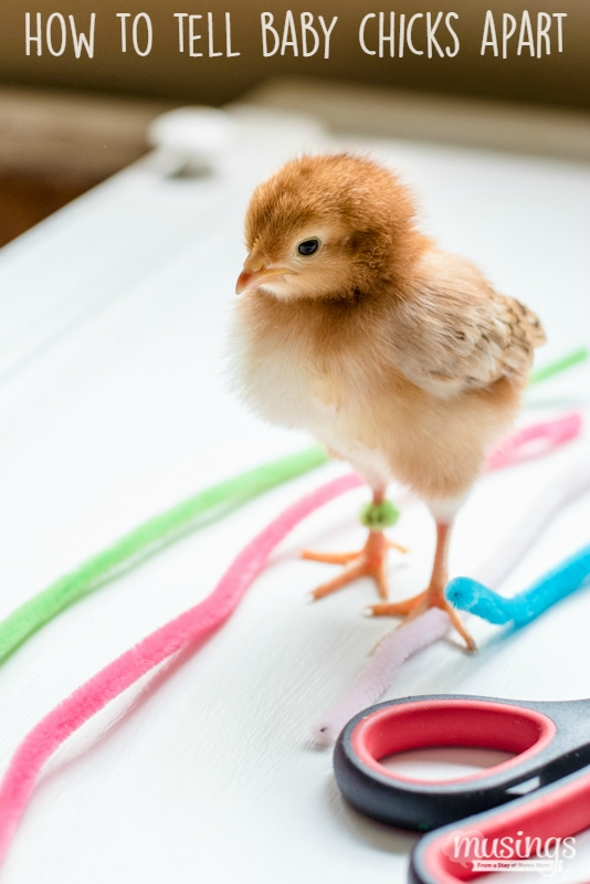 The Easy Method for How to tell Baby Chicks Apart - Raising Chickens