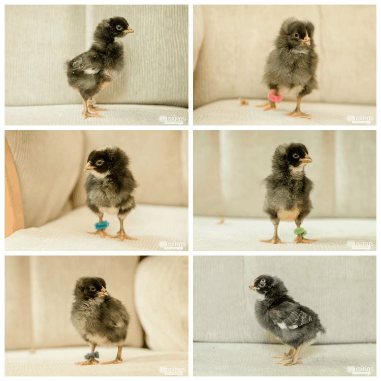 How to Tell Baby Chicks Apart - Barred Plymouth Rock chicks