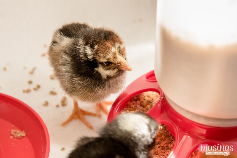 Silver Laced Wyandotte chick - How to make a simple chick brooder | raising chickens