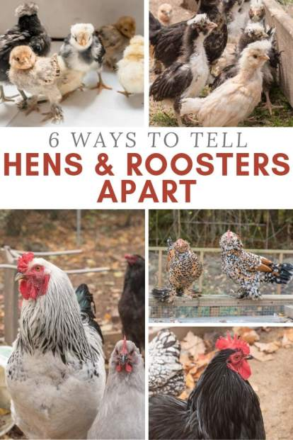 chickens, hens, and roosters how to tell them apart