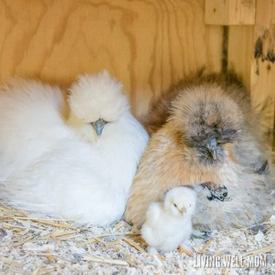 silkie chickens hens with baby chicks