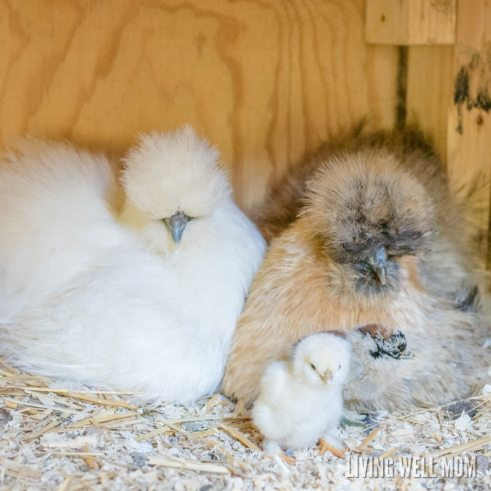 silkie chickens with chicks - difference between silkie hens and roosters