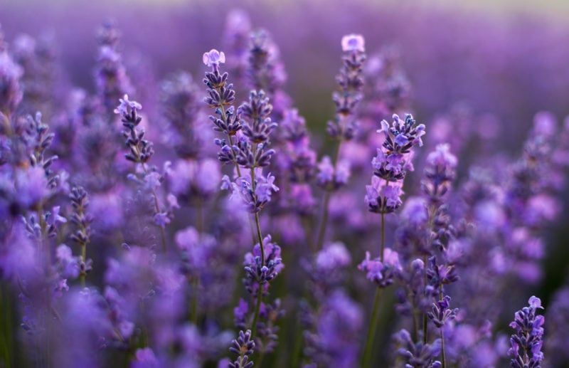 pretty purple lavender flowers plants field