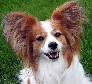 Courtesy of Jen Smith from USA - Papillon Ears CC BY 2.0
