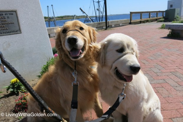 Chuck Billy and Asa modeling their Gentle Leaders while enjoying sightseeing in Newburyport.