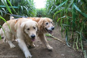 Goldens of the Corn Maze