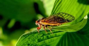 cicada-on-a-bright-green-leaf